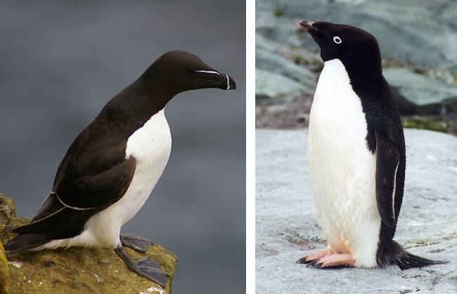 quelle est la difference entre un pingouin et un manchot. Black Bedroom Furniture Sets. Home Design Ideas